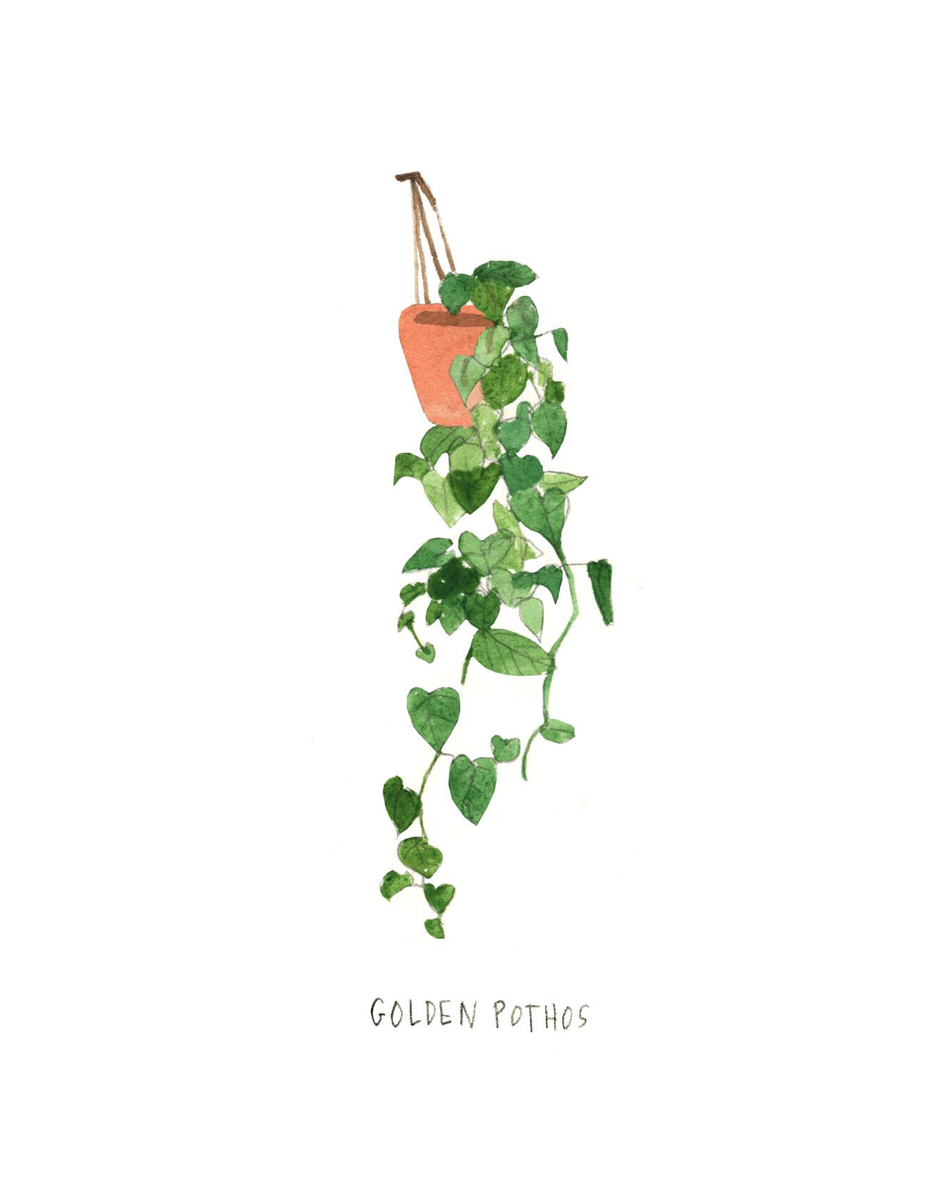 house plants drawing. golden pothos house plants drawing